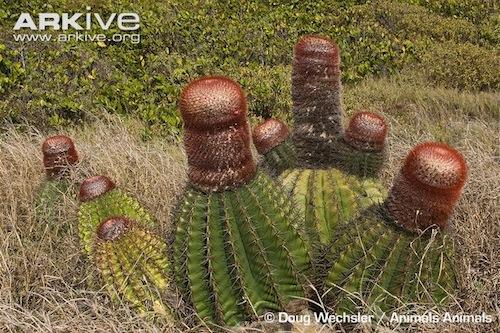 ARKive image GES104878 - Turk's head cactus