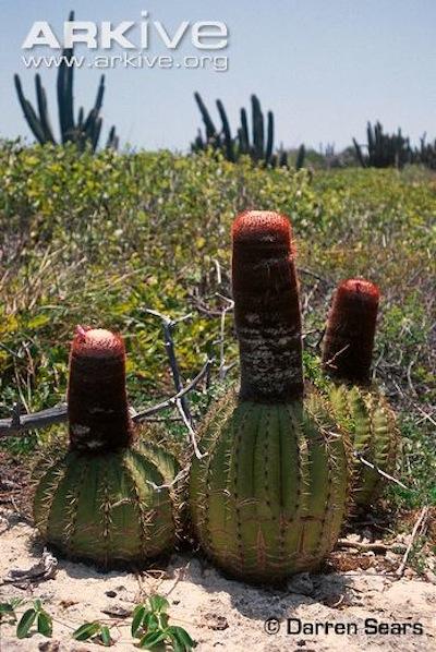 ARKive image GES104185 - Turk's head cactus
